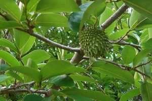 La Guanabana, o árbol de Graviola es considerado un potente anticancerígeno…
