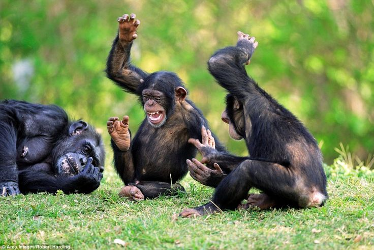 The small community of chimps, which are a species of great ape, are native to sub-Saharan...