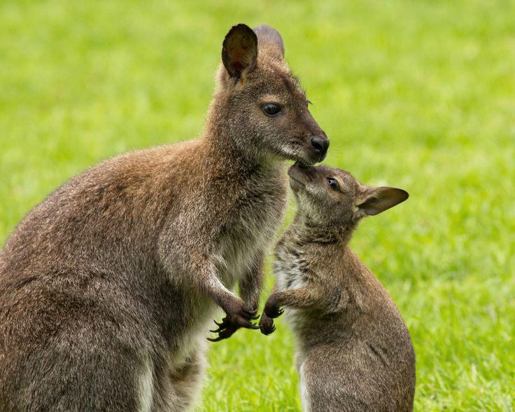 Der Känguru-Nachwuchs.... von Sabine K. aus W
