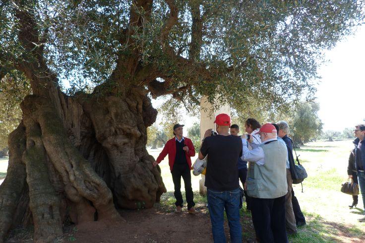 Ulivo millenario nell'area olivetata della Masseria Brancati