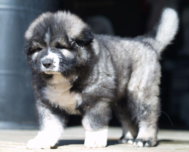 Rockhill Caucasians Breeders of Caucasian Ovcharka also know by the following names: Caucasian Mountain Dog, Caucasian Ovcharka, Caucasian Ovtcharka, Caucasian Owtcharka, Caucasian Shepherd, Caucasian Sheepdog, Kawkasky Owtscharka, Kaukasische Schaferhund, Kavkazsky Ovcak Pastevecky, Owczarek Kaukaski, Pastore Del Caucaso, Nagazi, Gampr, Volkodav, Kavkazskaïa Ovtcharka, Russisk Vokterhund, КАВКАЗСКИЕ ОВЧАРКИ, Owczarków kaukaskich, Sage Ghafghazi, KAVKAZSKÝ PASTEVECKÝ, Kaukasischen…