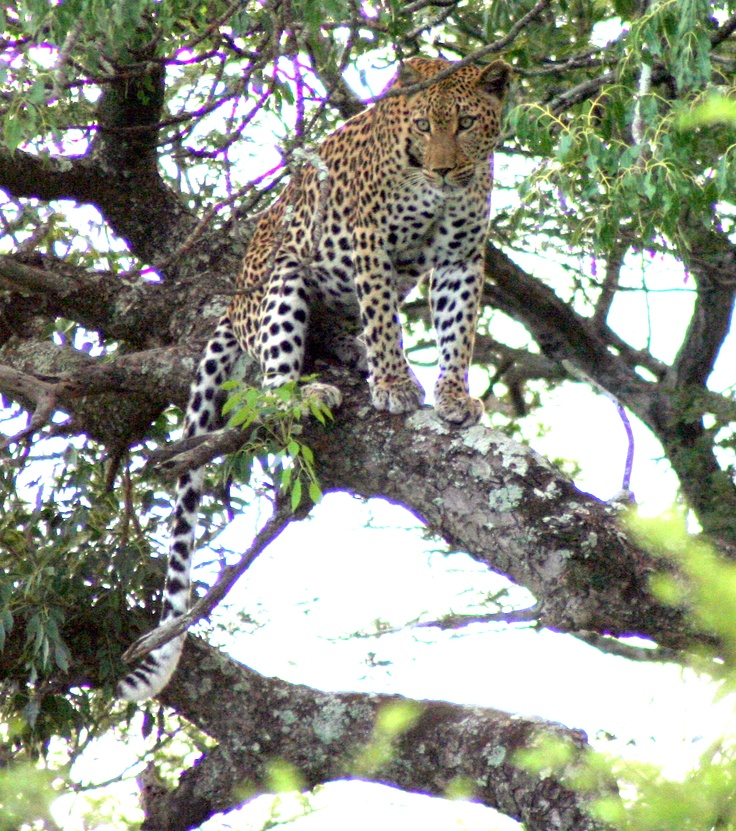 Female Leopard @ Imfolozi after taking down a baby Impala
