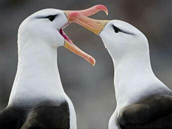 When you and bae are having a fight. #struggles #albatross #albatrosseshavefightstoo