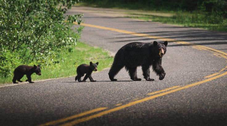 Wells Gray Provincial Park in Canada a lot of Bears crossing the roads.