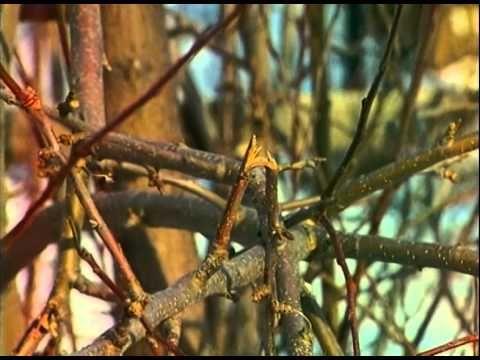 Мобильный LiveInternet Уход за яблоней весной: что, зачем и как. Зависит ли количество урожая от весеннего ухода за яблоней? | Любаша_Бодя - Сундук ПОЛЕЗНОСТЕЙ |