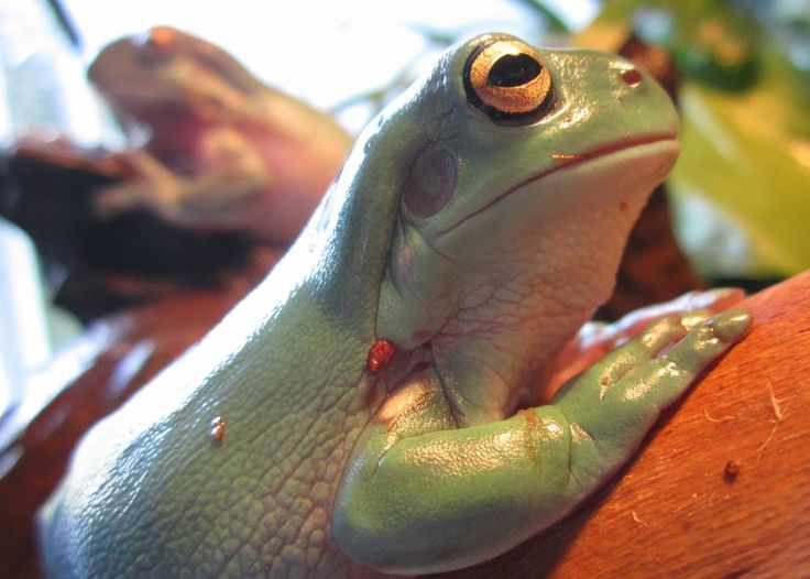 White's Tree Frog/Dumpy Tree Frog
