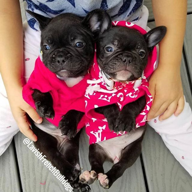 French Bulldog Puppies For Sale Near Me Craigslist