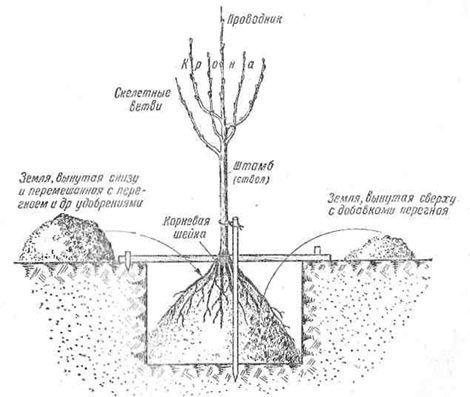 схема посадки саженца яблони в