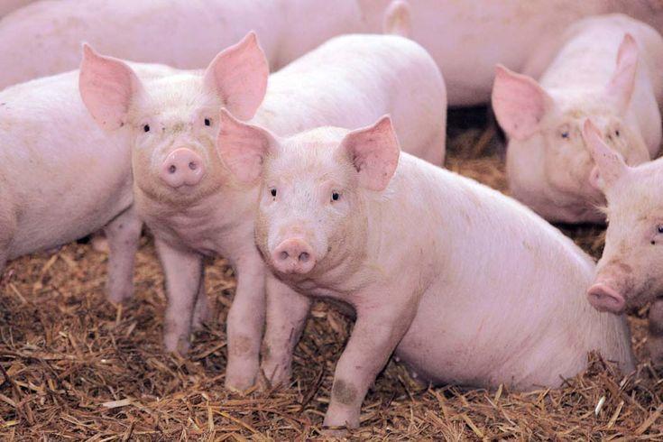 Oznakowanie świń – przedstawiamy obowiązki hodowców trzody chlewnej