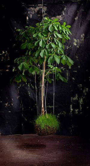 Best kokedama moss ball plants images on pinterest