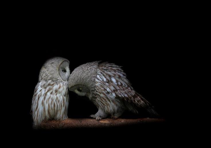 Owlet love...: Kiss, Nature, Barns Owl, Grey Owl, Things, Feathers, Photo, Birds, Animal