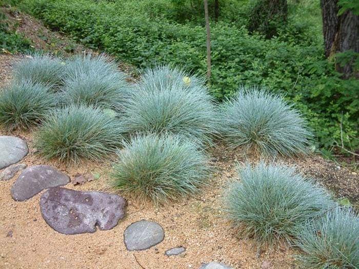 Jardim da Terra: Grama Azul