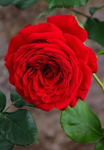 : * Rosas  *