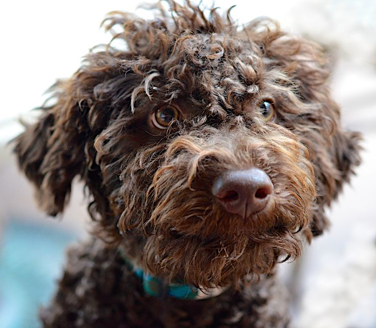 Lagotto Truffle Dogs: 50 Best Images About LAGOTTO Romagnolo Love On Pinterest