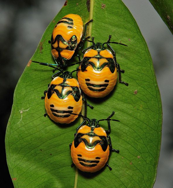 Shield Bug Nymphs by Itchydogimages on Flikr. This guy has so many amazing insect photos! Worth a look.