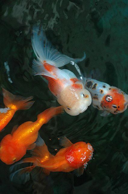 Les 67 meilleures images du tableau goldies sur pinterest for Poisson rouge koi aquarium