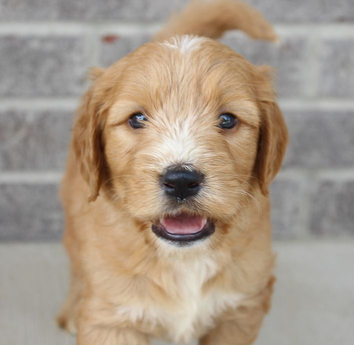Goldendoodle Puppy In Woodburn Indiana For Sale Goldendoodle