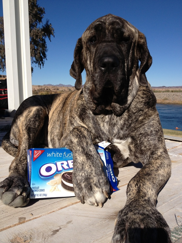 #Brazilian #mastiff is also a sweet tooth))))