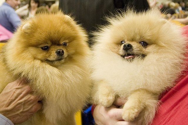 teacup pomeranian life expectancy 17 best images about pom poms on pinterest puppys toy 2157