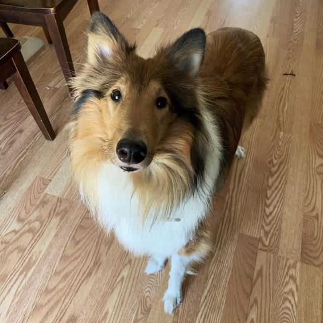 The Cutest Rough Collie Puppy Of The Day 29 Pics Dogs I Want