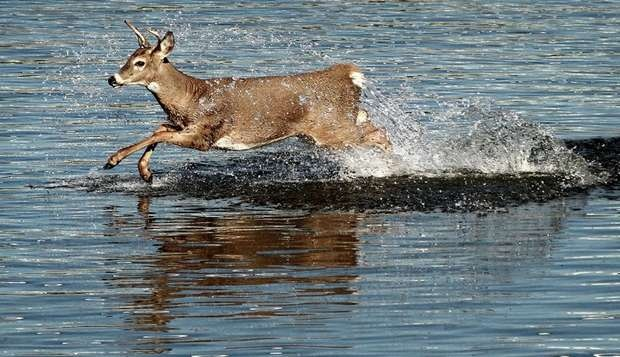 Iowa wildlife in the Des Moines river, one of the best