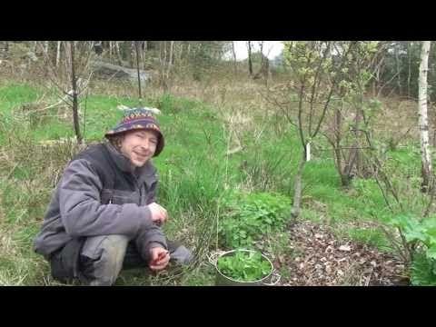 Pourquoi et comment utiliser les orties: http://www.lapermaculture.info/permac... Perméric du blog La Permaculture Simplifiée vous montre pourquoi et comment il utilise les orties dans son jardin développé avec les principes de la permaculture.