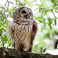 Barred Owl..shaking out his feathers