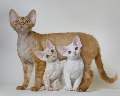 Devon Rex Cat & Kittens <3