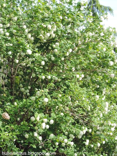 Victorian Garden Gate Manor: Viburnun, Snowball will grow into quite a large shrub or tree , a stunning spring shrub.