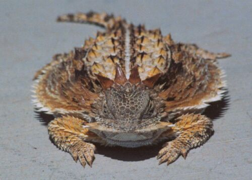 A regal horned lizard.  Would love to have one of these.