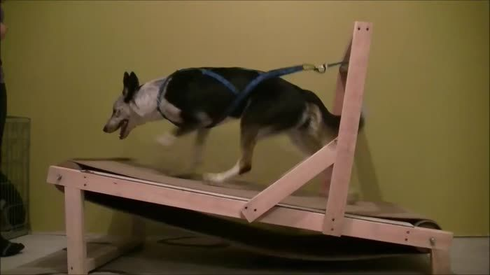This Homemade Treadmill For Dogs Dog Treadmill Dogs Pet Dogs