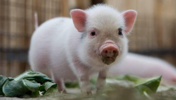 Germania: lo zoo di Hannover accoglie i maiali in miniatura - Curiositá - ANSA.it