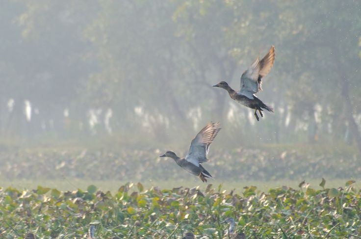 Gadwalls by Imran Ahmad on 500px
