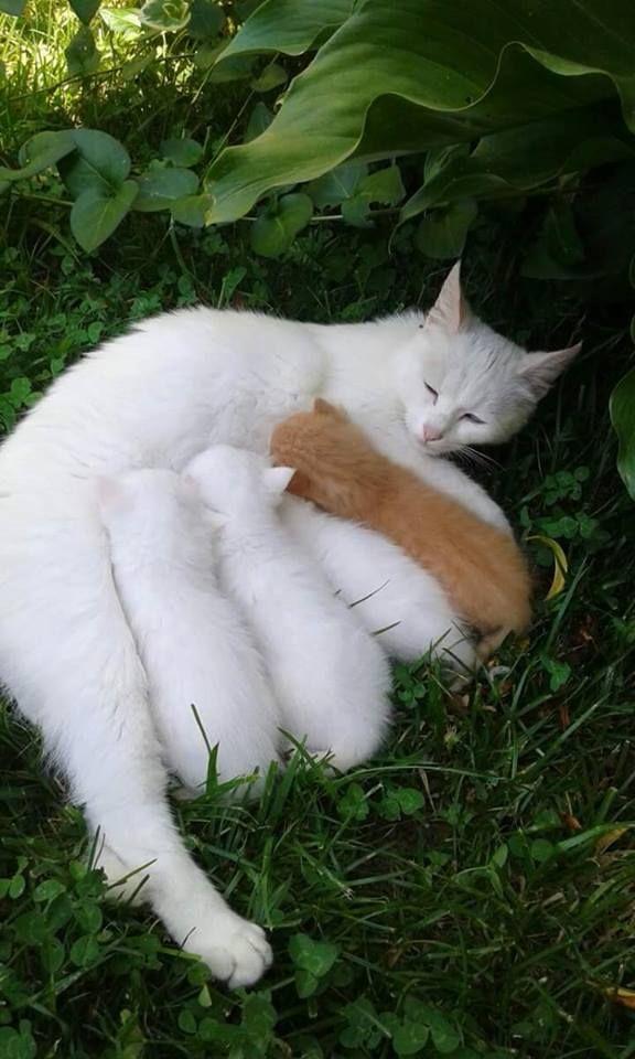 White cat & kittens plus a ginger kitten