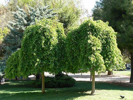 Laubgehölze : Morus nigra 'Pendula' - Trauer-Maulbeerbaum