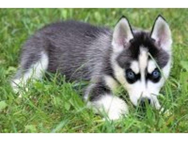 2 Siberian Husky Pups Left Husky Puppy Husky Puppies For Sale