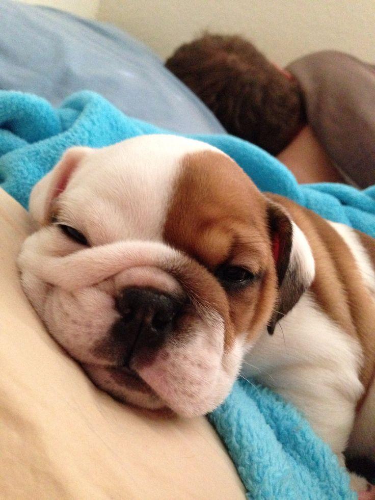 My English bulldog puppy