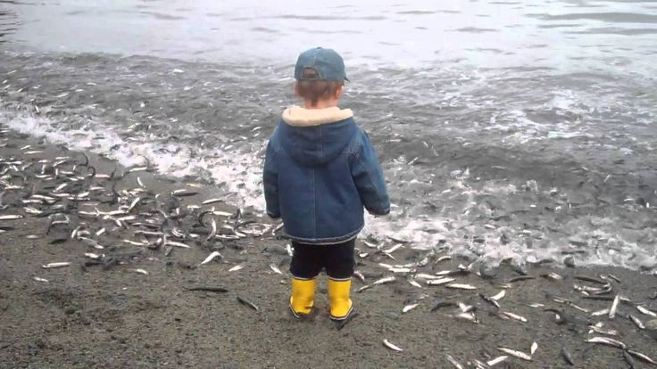 The Capelin are Rollin' on Middle Cove Beach, Newfoundland and Labrador