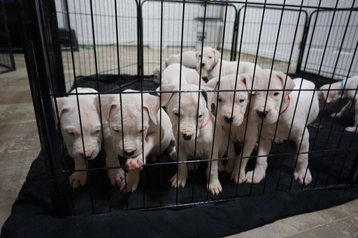 Litter of 9 Dogo Argentino puppies for sale in CLEWISTON, FL. ADN-20779 on PuppyFinder.com Gender: Male(s) and Female(s). Age: 9 Weeks Old