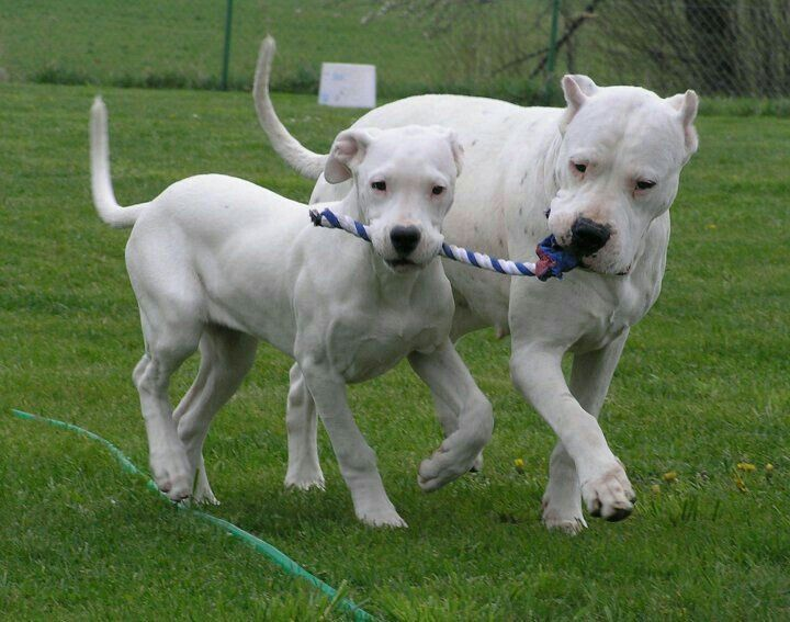 Pin By Mr C On Dogo Argentino Dog Argentino White Boxer Dogs