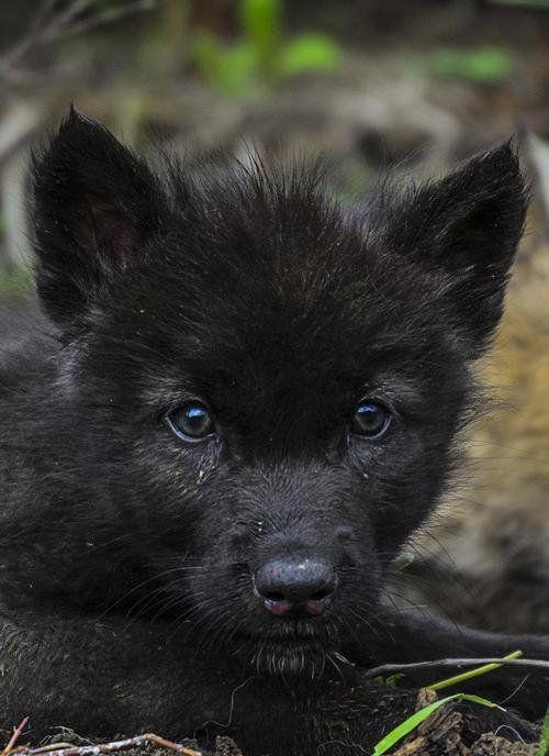 black wolf pups with blue eyes wwwimgkidcom the