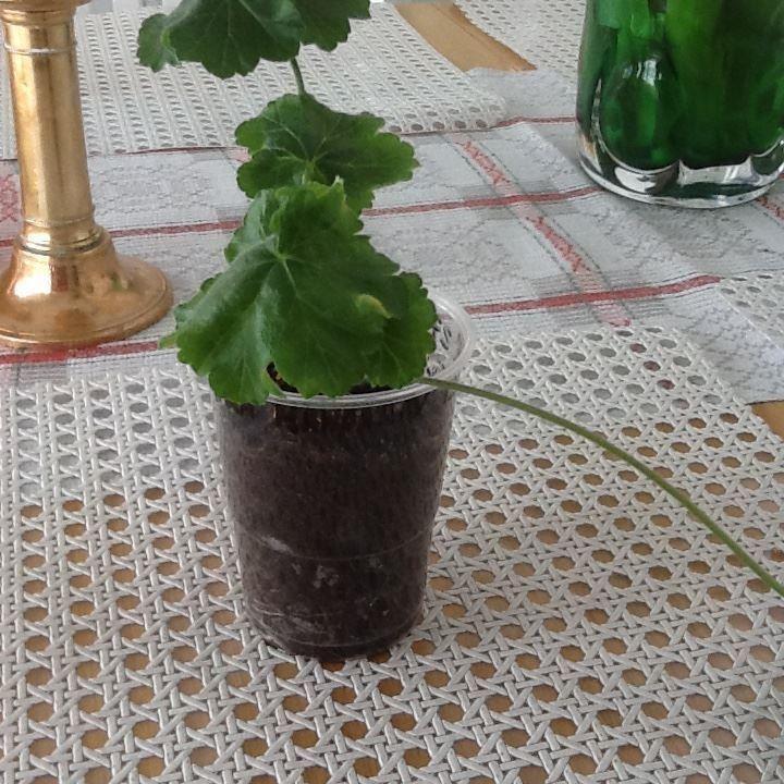 Lara Mandarin en Zonartic på Tradera.com - Pelargoner - Krukväxter |