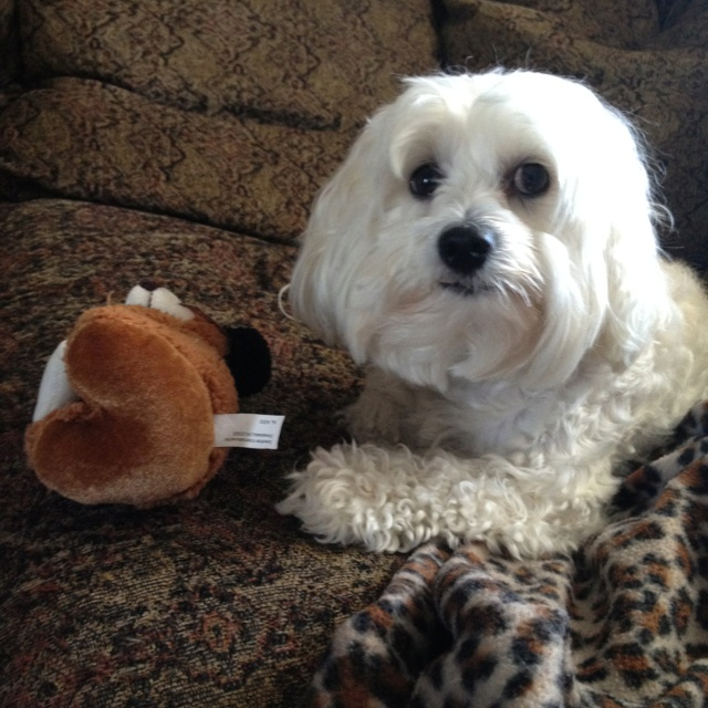 Maltipoo Puppies For Sale Limpopo South Africa