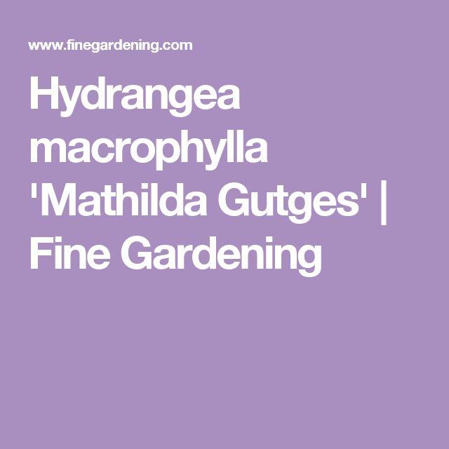 Hydrangea macrophylla 'Mathilda Gutges' | Fine Gardening