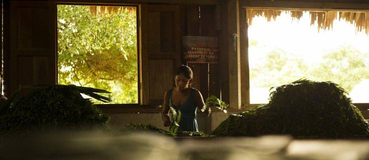 Trabalhadora da Cooperativa Carmelita, na região de Petén, no Norte Guatemala, seleciona folhas de uma palha nativa: mais de 30 milhões delas são exportadas anualmente para os EUA e Canadá - André Liohn/Uma Gota no Oceano