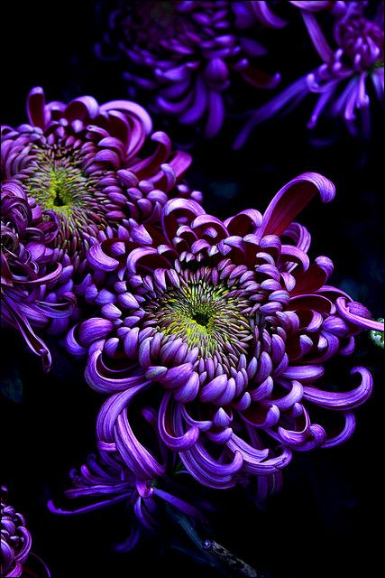 Spider Mums - Purple #flowers