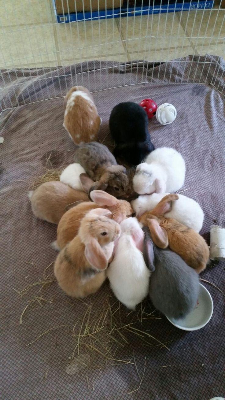 Bunnies, rabbits, lop eared bunnies, holland lops, holland lop bunnies, white, tan, gray, black, brown, bunnies, litter of bunnies, lop eared bunnies, bunny rabbits, baby bunnies,bunnies eating, feeding time