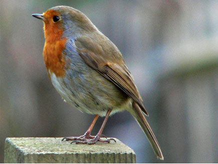 The Robin During Winter They Are Often Joined By
