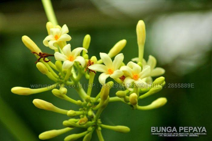 MACRO PHOTOGRAPHY : BUNGA PEPAYA