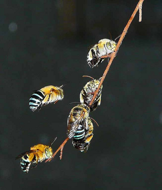 how to make house for blue banded bees